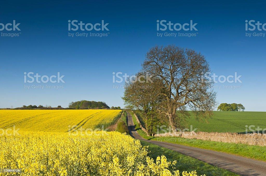 Idyllic Rural, Canola, Biodiesel Crop stock photo
