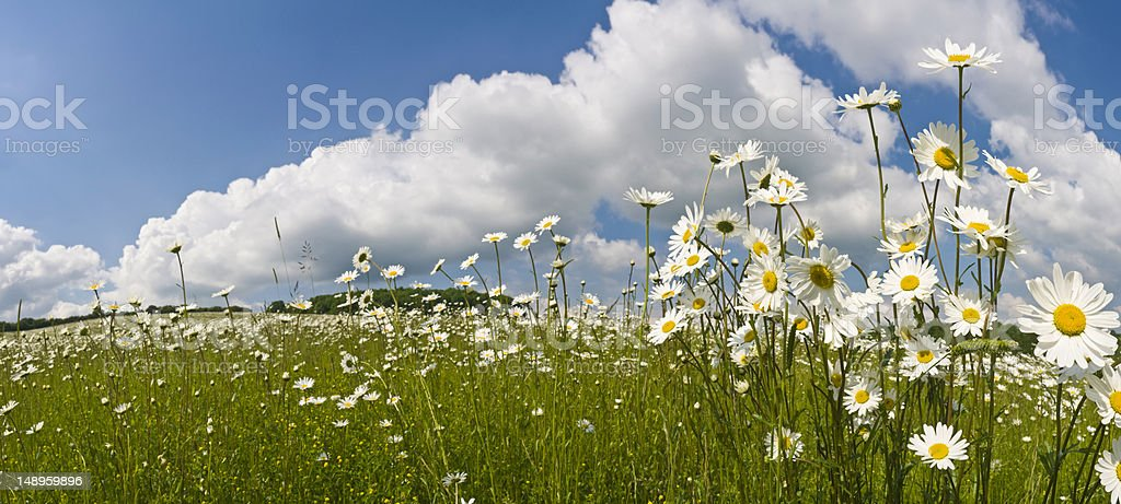 Idyllic summer meadow daisies stock photo