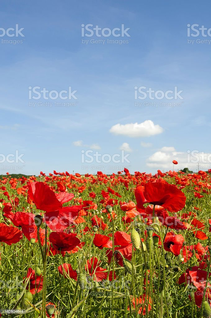 Idyllic summer meadow landscape with red poppies and blue sky royalty-free stock photo