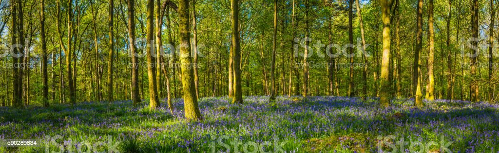 Idyllic summer woodland green foliage warm sunlight wildflower forest panorama stock photo