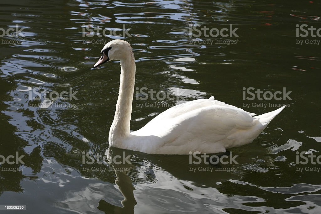 Idyllic Swan on water in sunlight royalty-free stock photo