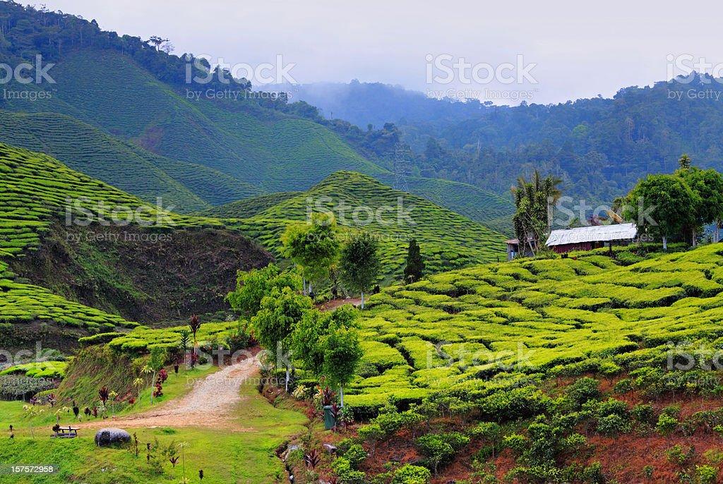 Idyllic Tea Plantation stock photo