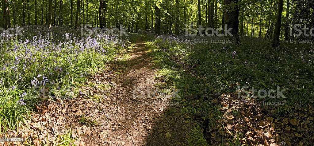 Idyllic wildflower forest path panorama summer bluebell glade royalty-free stock photo
