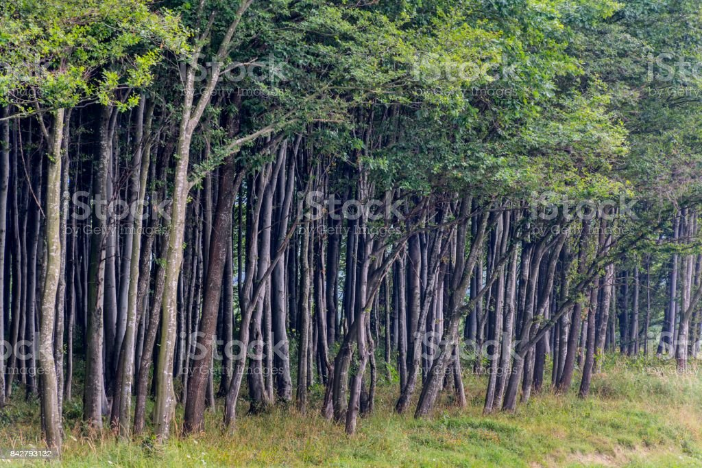 iew of beech forest edge in summer time in Carpathian mountains, Romania. stock photo
