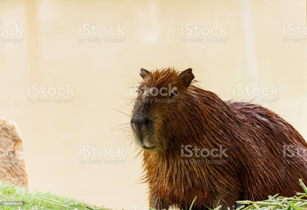 ig Capybara (hydrochoerus hydrochaeris) in the zoo stock photo