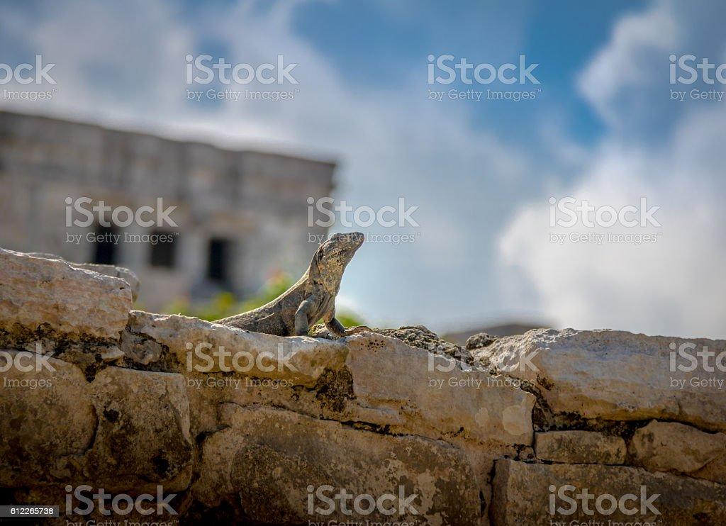 Iguana at Mayan Ruins of Tulum, Mexico stock photo