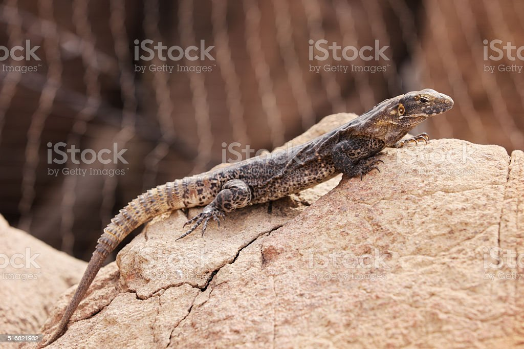 Iguana Cape Spiny Tail Lizard Ctenosaura hemilopha stock photo