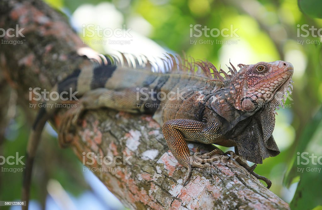 Iguana, Corcovado, National Park stock photo