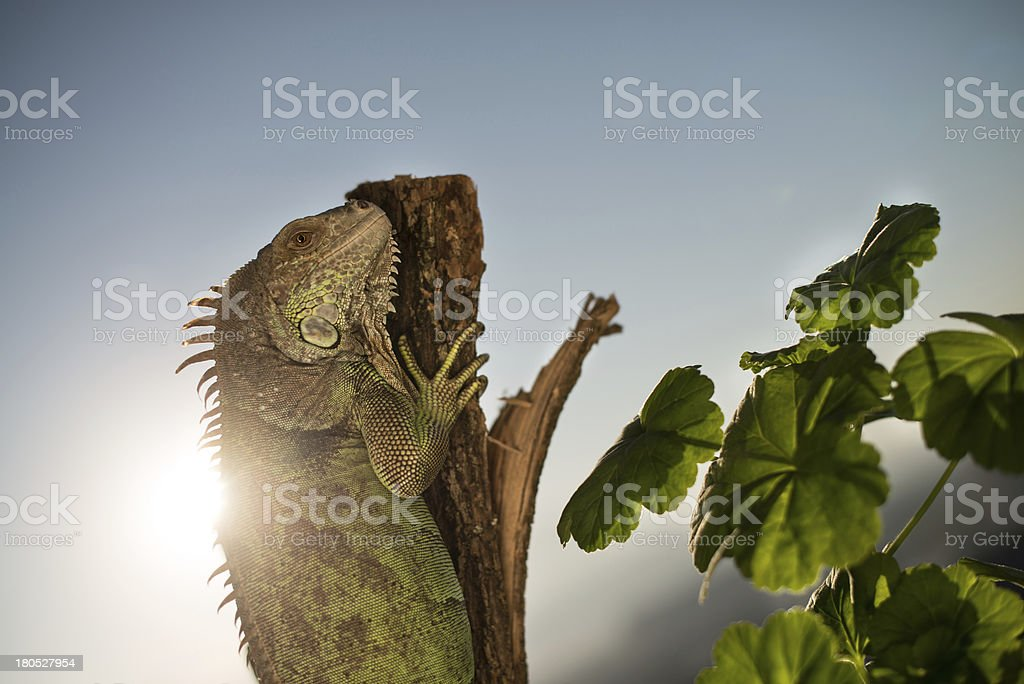 iguana crawling on a piece of wood and posing royalty-free stock photo