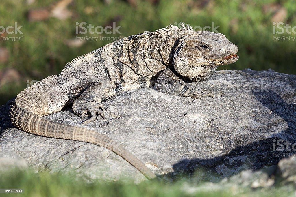 Iguana enjoying the sun royalty-free stock photo