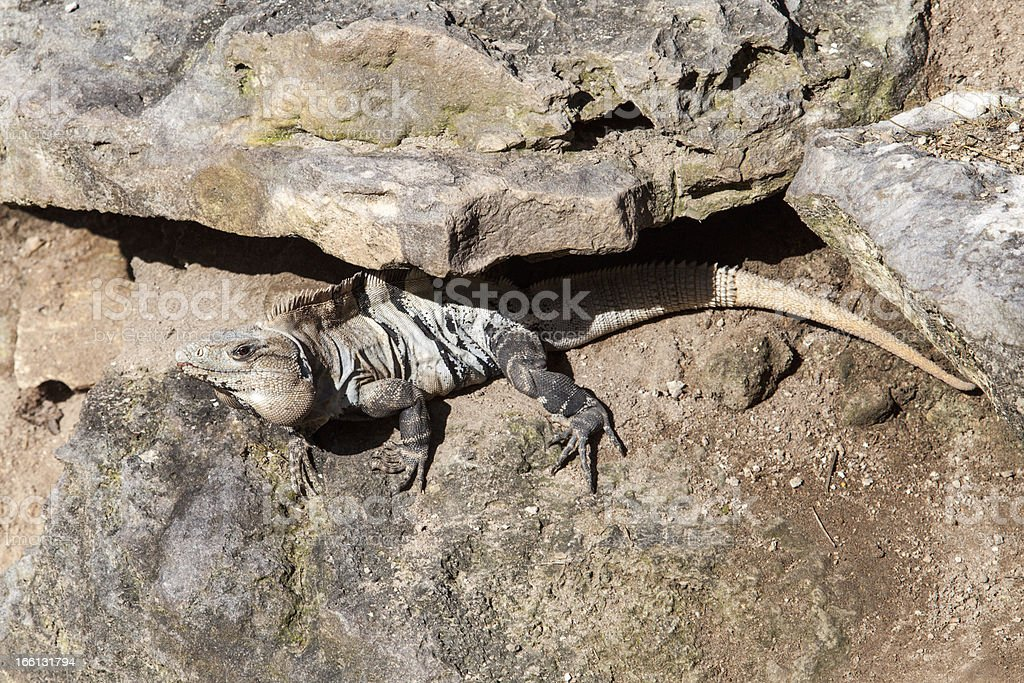 Iguana enjoying the sun royalty-free stock photo
