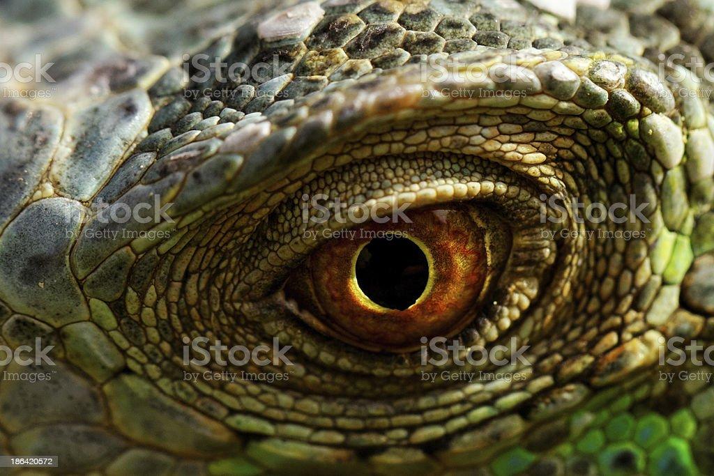 iguana eye royalty-free stock photo