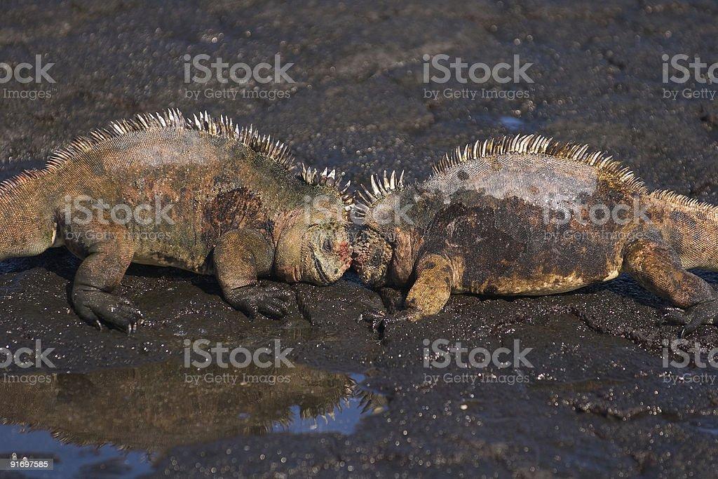 Iguana fight stock photo