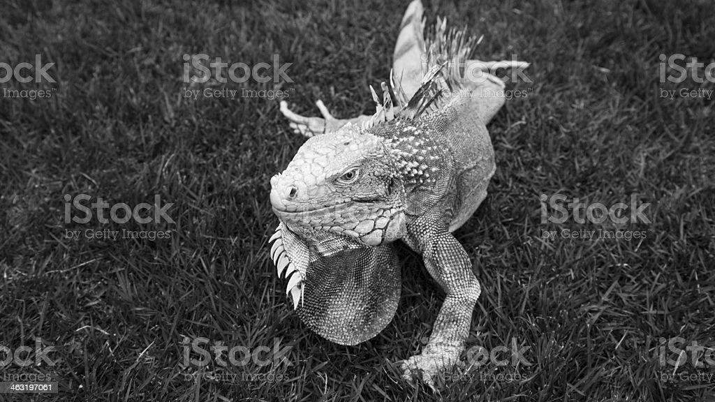 Iguana greyscale royalty-free stock photo