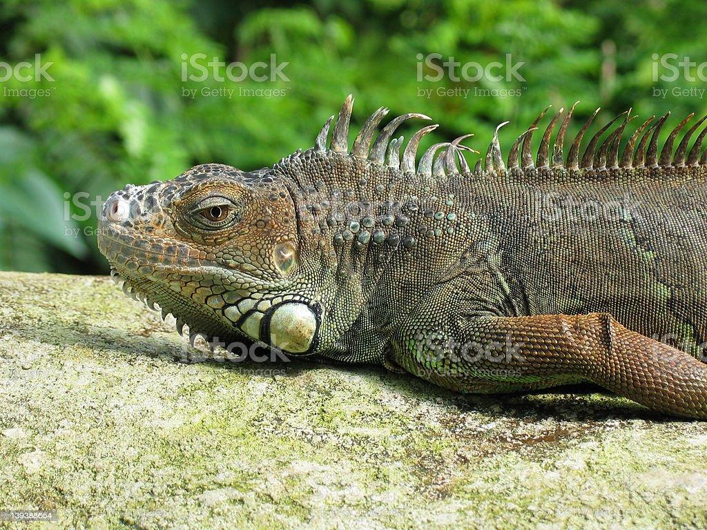 Iguana head royalty-free stock photo
