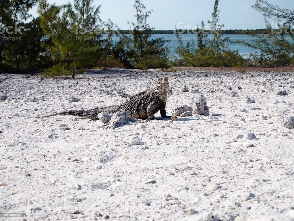 Iguana in Cayo Largo stock photo