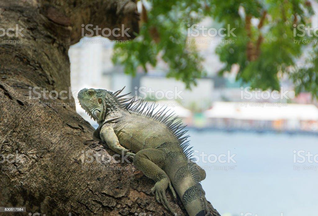 Iguana in Fort de France, Martinique stock photo