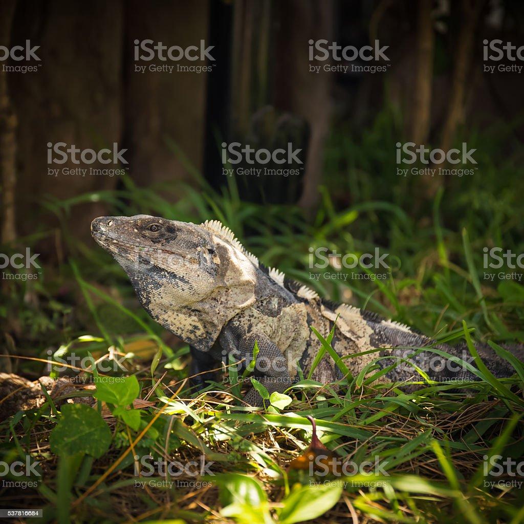 Iguana in green grass stock photo