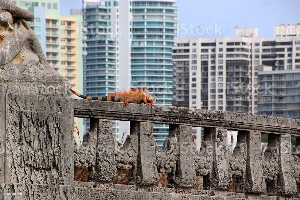 Iguana in the City stock photo