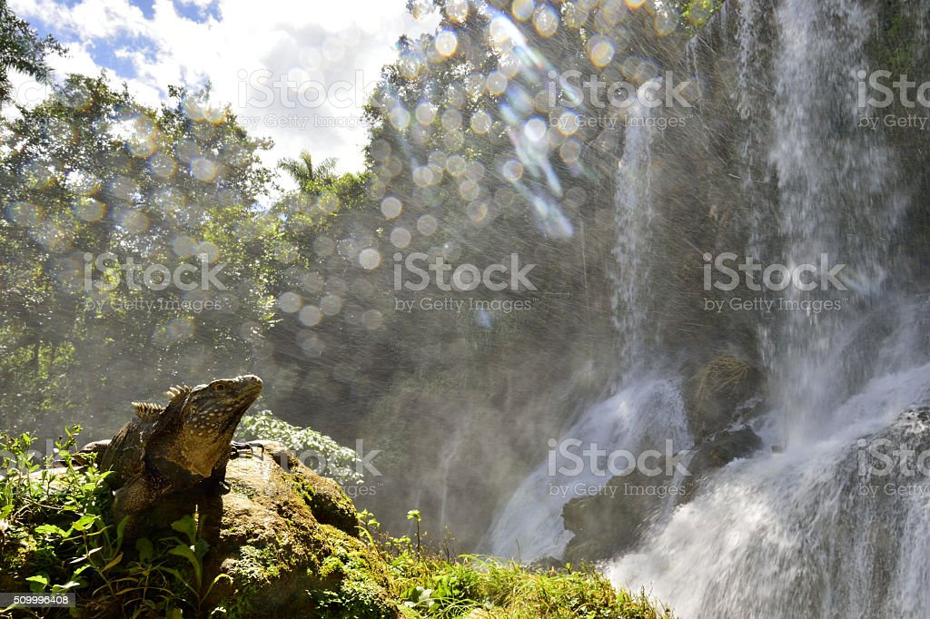 Iguana in the forest beside a water fall. stock photo
