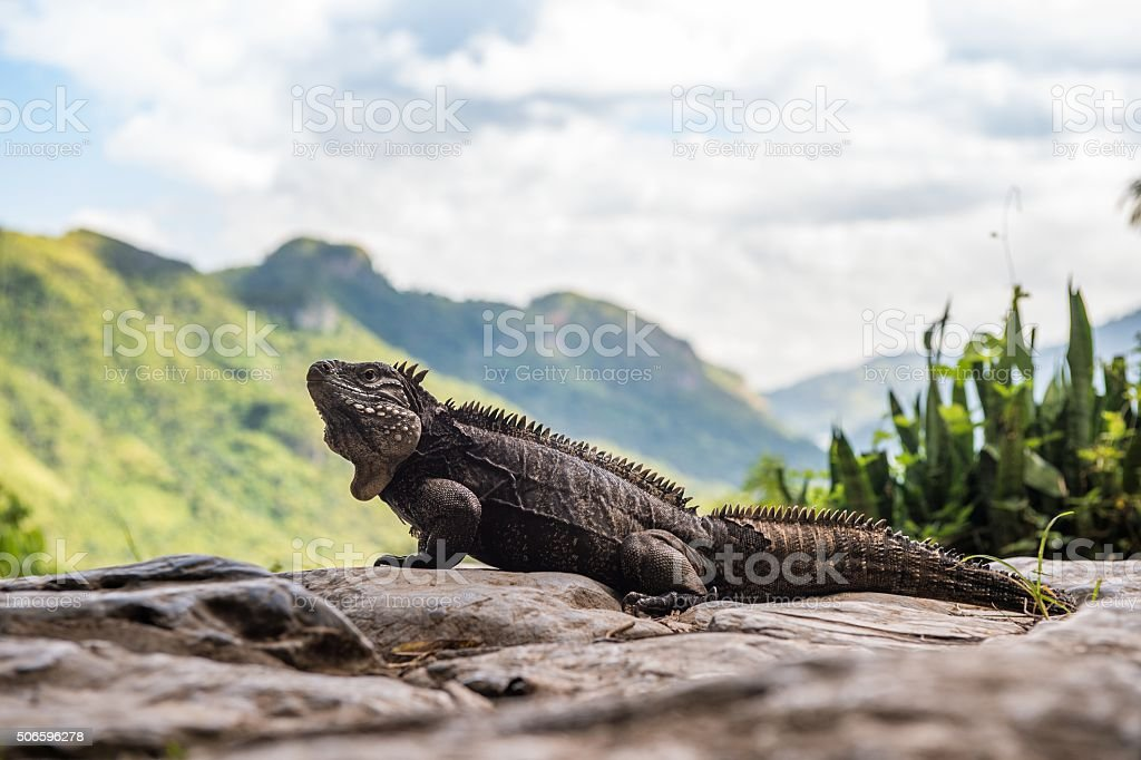 Iguana in the forest. stock photo