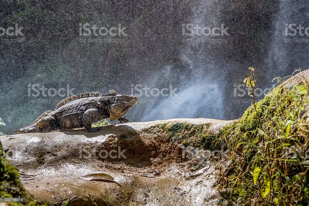 Iguana in the forest stock photo