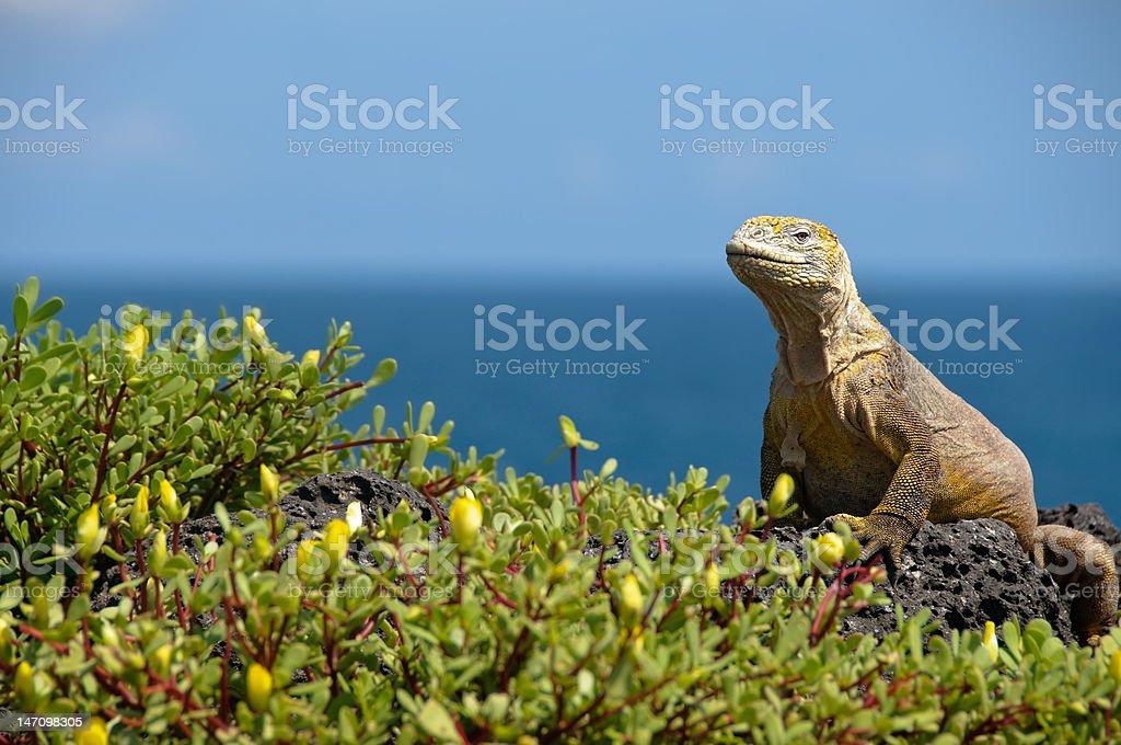 Iguana in the Galapagos stock photo