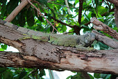 iguana in the zoo of Budapest