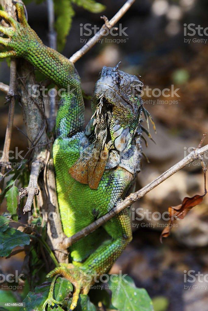 Iguana in tree stock photo