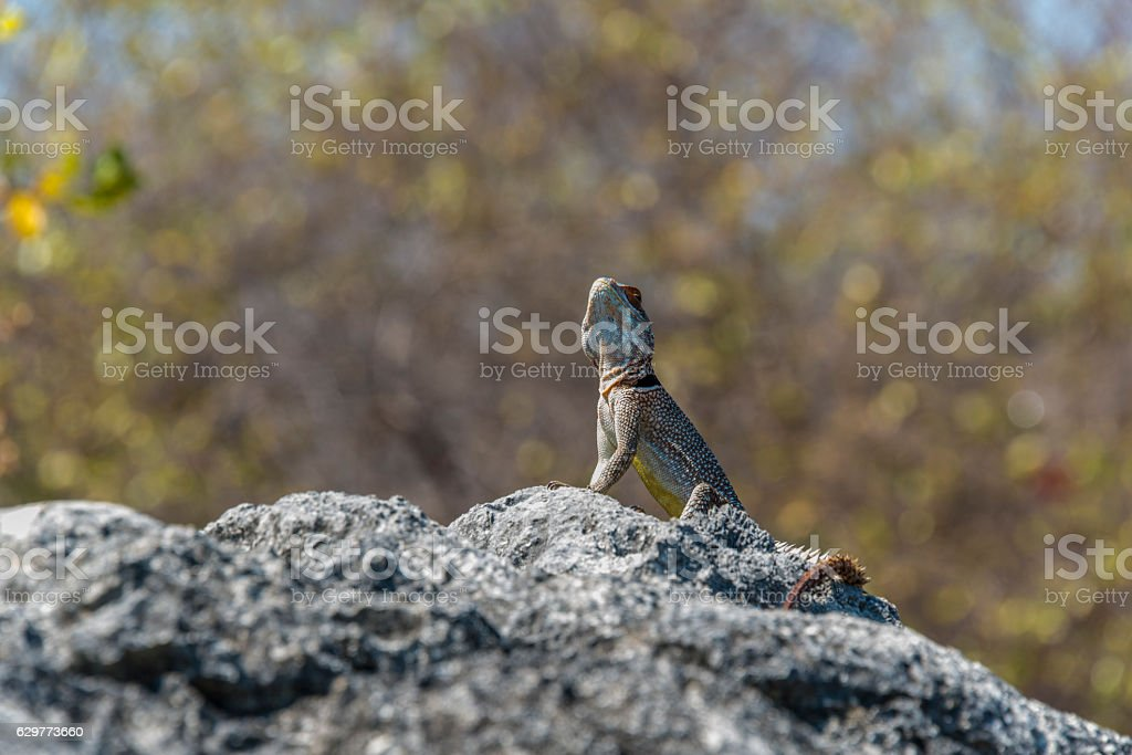 Iguana in Tsingy. Madagascar stock photo