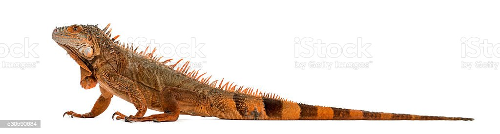 iguana isolated on white stock photo