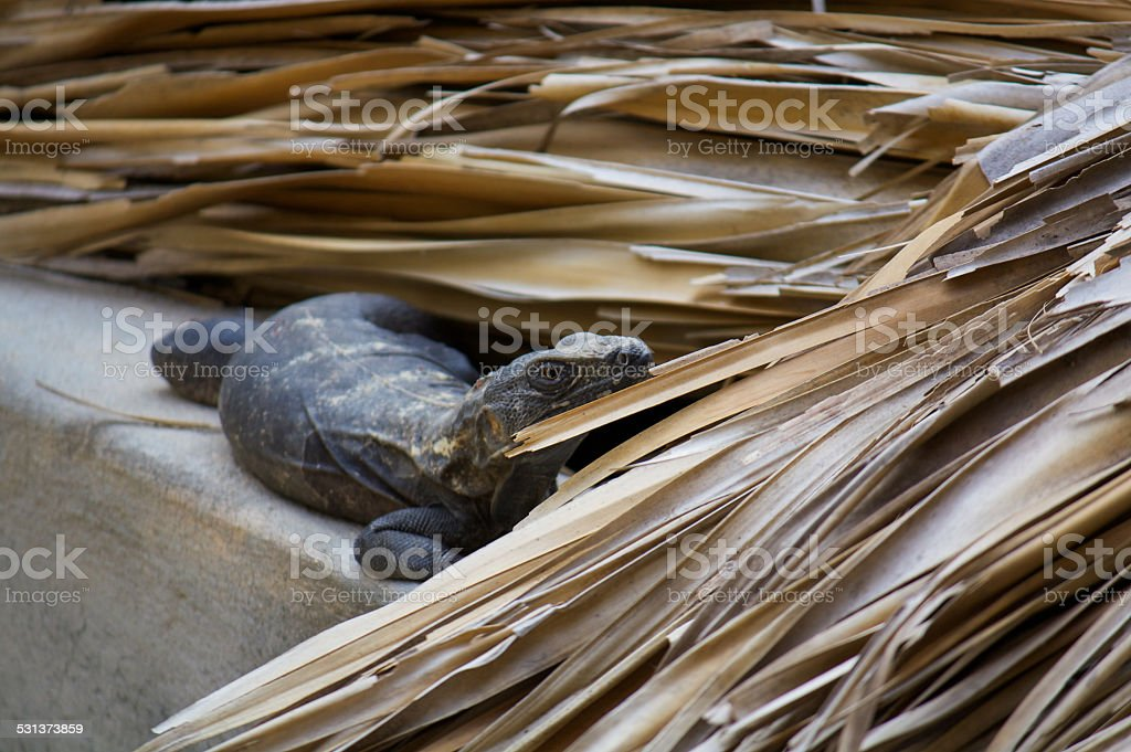 Iguana living in the roof interested Puerto Escondido Mexico stock photo