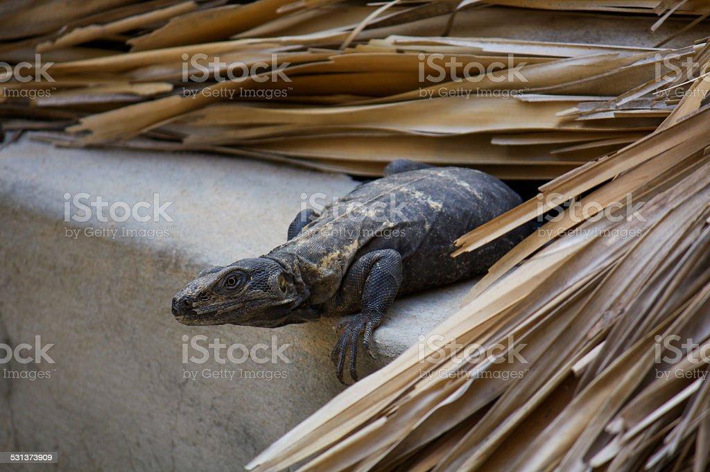 Iguana living in the roof preparing to jump Puerto Escondido stock photo