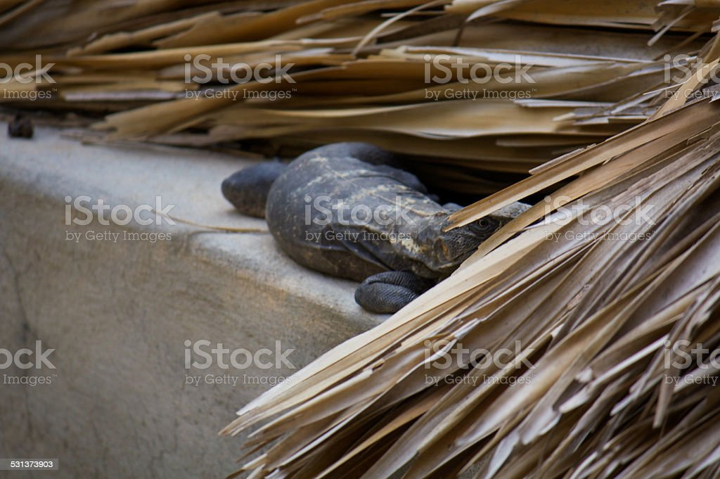 Iguana living in the roof watching Puerto Escondido Mexico stock photo