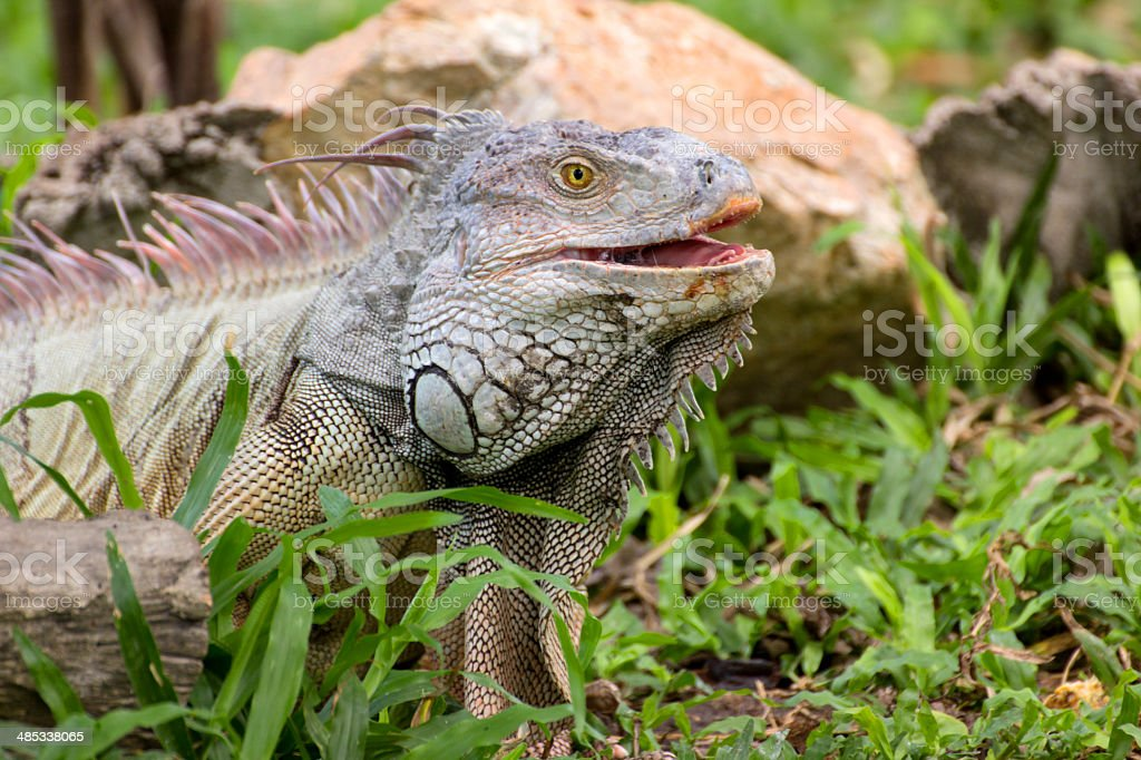 iguana lizard laying on the grass in the wild stock photo