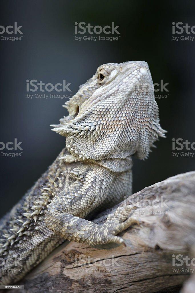 iguana, lizard royalty-free stock photo