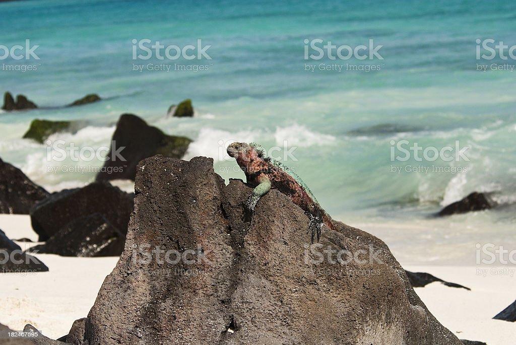 Iguana on a Galapagos Beach stock photo