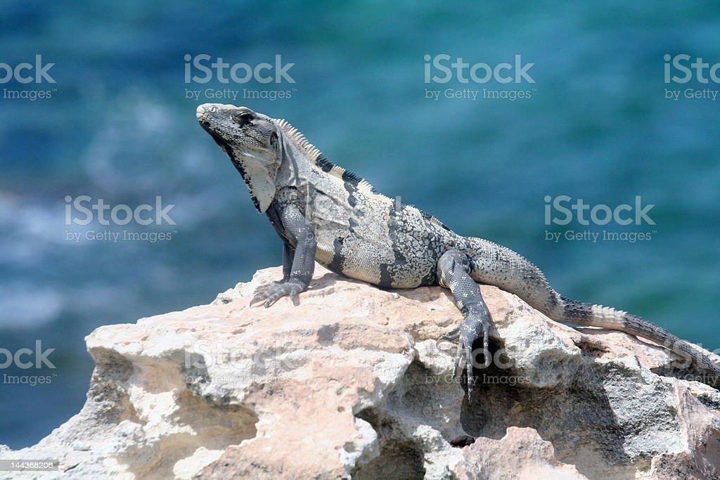 Iguana on a Rock royalty-free stock photo