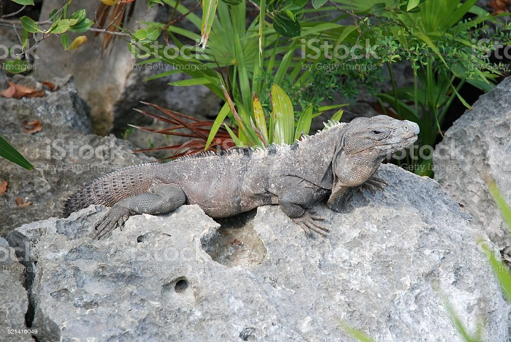 Iguana on a Rock royalty-free stock photo