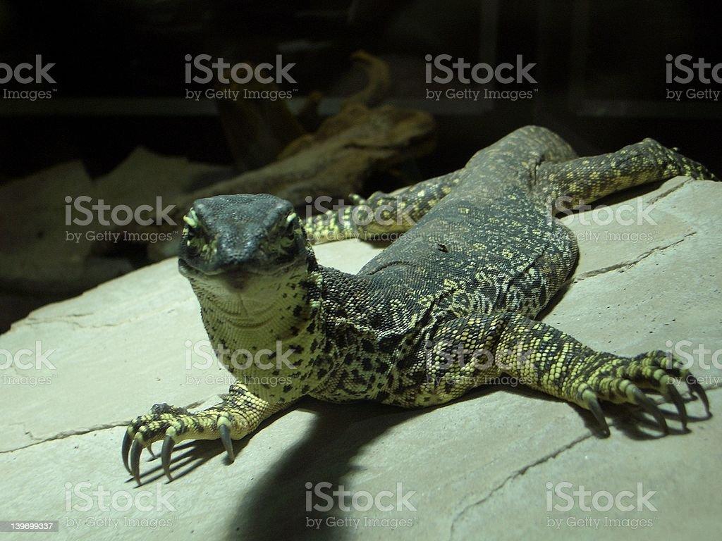 Iguana on a stone royalty-free stock photo