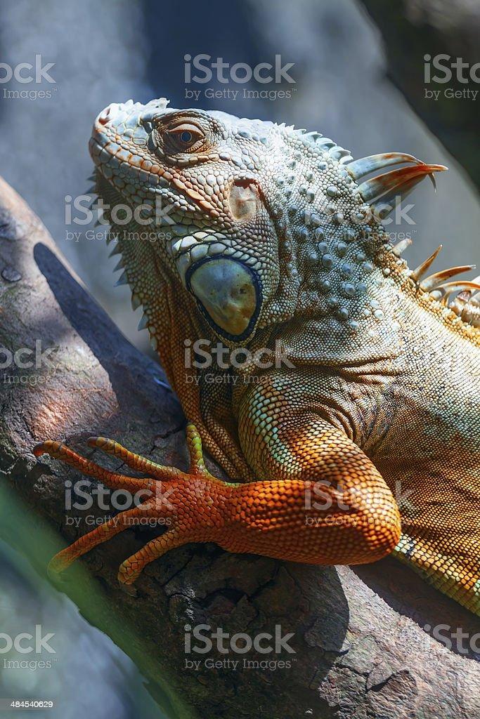 Iguana on a tree branch stock photo