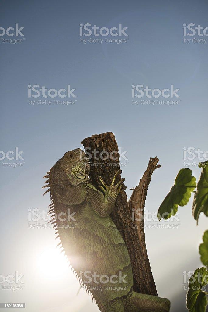 iguana on a tree crawling and posing royalty-free stock photo