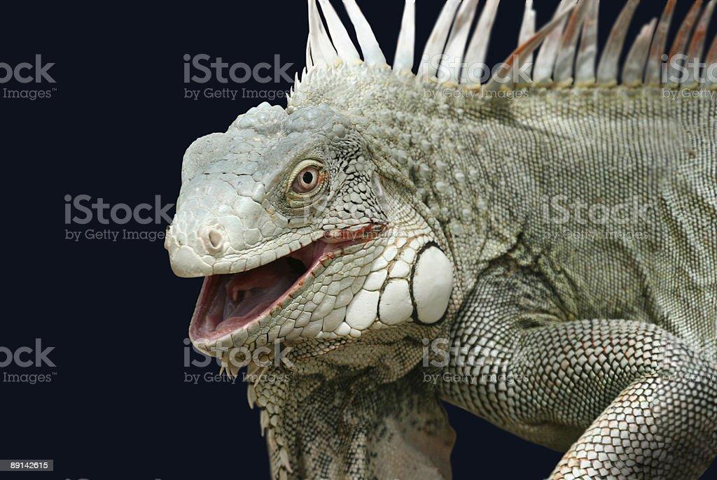 Iguana on black stock photo
