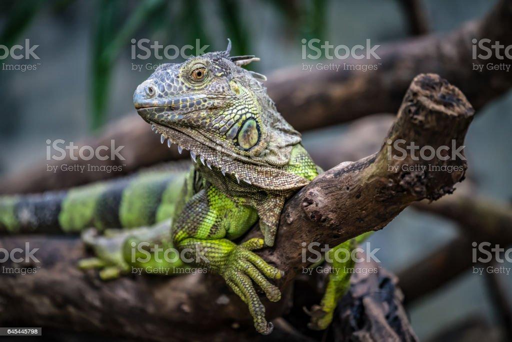 Iguana on branch stock photo