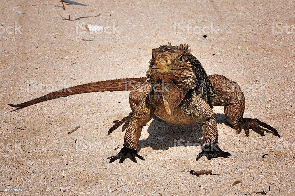 Iguana on Jardines de la Reina, Cuba stock photo