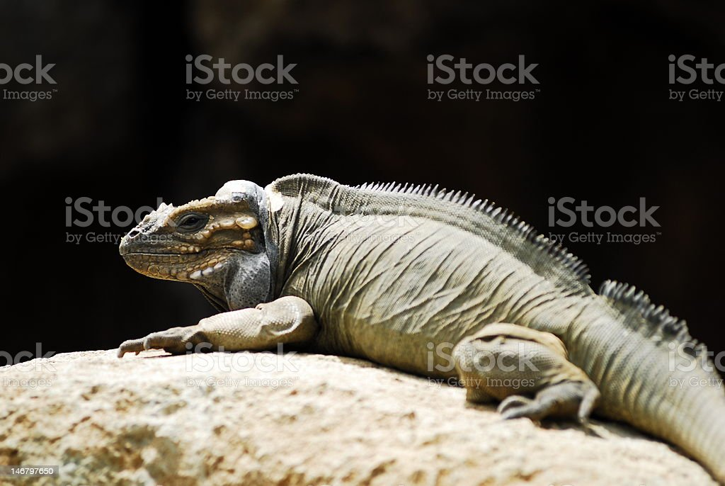 Iguana on lookout royalty-free stock photo