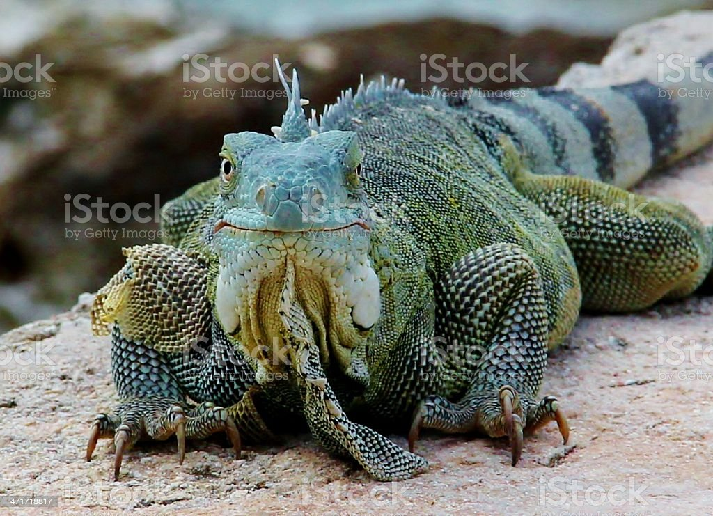 iguana on the beach stock photo