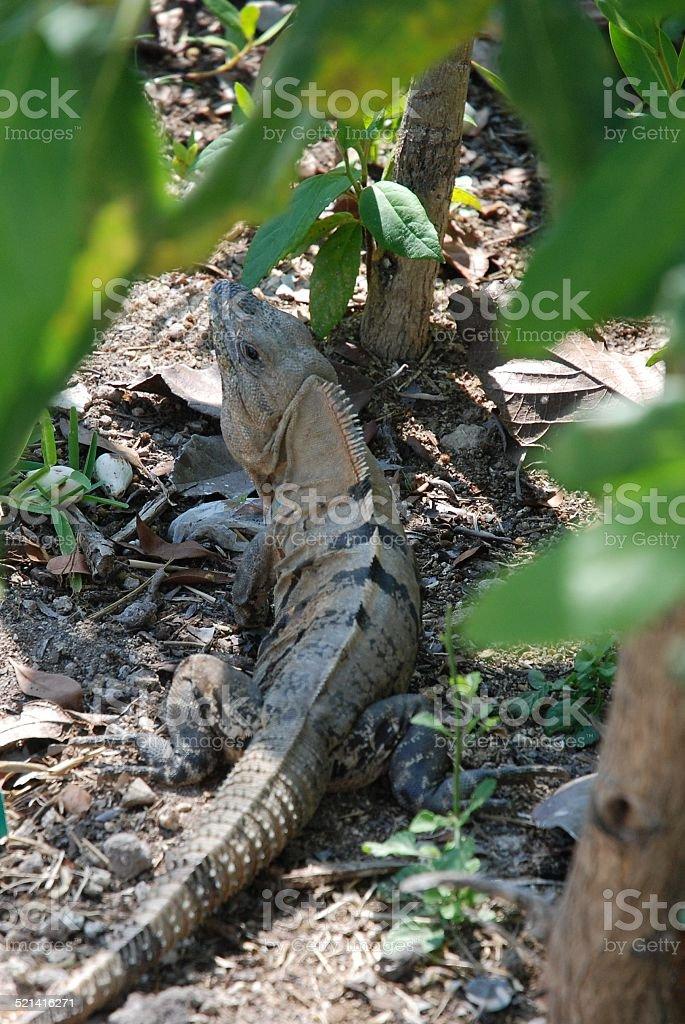 Iguana on the Ground royalty-free stock photo