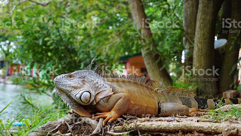 Iguana on the ground posing stock photo