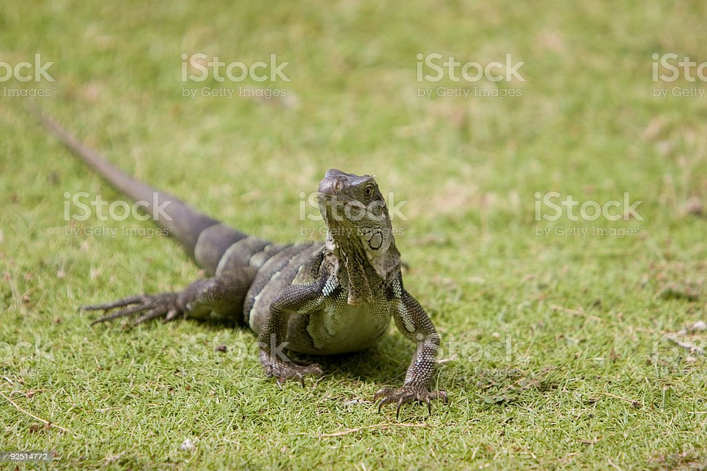 Iguana on the Prowl royalty-free stock photo